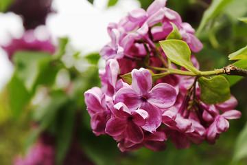 Beautiful blooming purple lilac