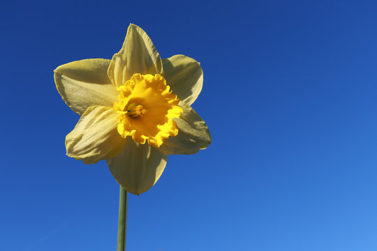 Yellow Daffodil with Blue Sky Background