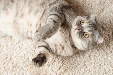 Scottish cat on a light carpet