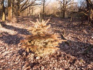 growing single conifer spruce tree in centre of woodland uk forest