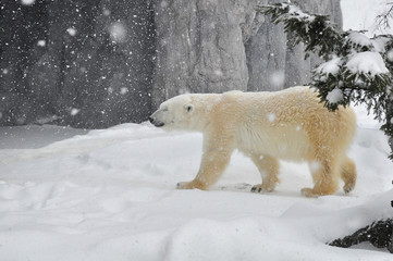 The polar bear in heavy snow.