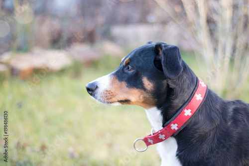 Appenzeller Hund Stock Photo And Royalty Free Images On