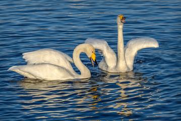 swans lake sing couple birds