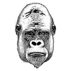 Gorilla portrait. Detailed hand drawn style.