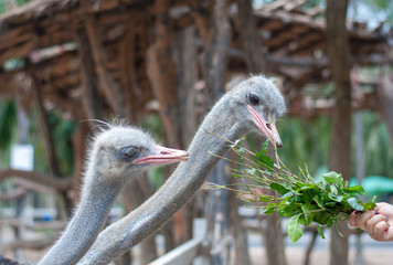 Two ostriches are pecking green plant, its feeding, from tourist hand in the zoo