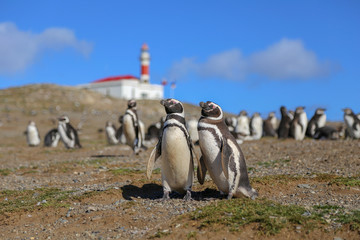 Pair of Magellanic penguins with lighthouse in background on Magdalena island, Chile