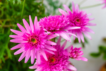 Beautiful pink flower in a blur background with flowers. pink marigold.