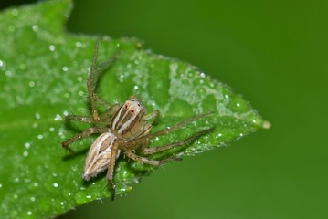 A very small Lynx spider on a leaf amid some ground cover, waiting to ambush some insect prey for a meal.