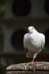 close-up of white pigeon on a paw with background