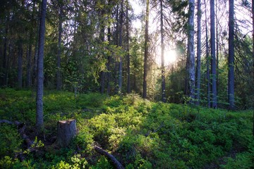 sunlight in a a mossy forest in Russia