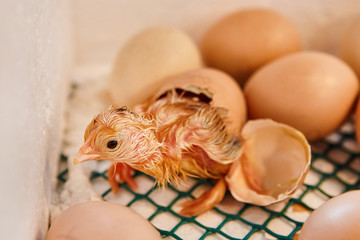 Newborn Yellow Chickens on a Poultry Farm in Incubator