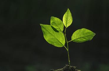 tree seedling