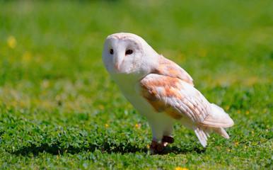 Barn owl (Tyto alba). Captive bird