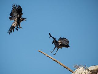 A Hooded Crow in flight scolds another crow which has stolen its perch