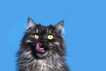 cat with yellow eyes on blue background