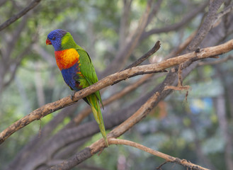 close up exotic colorful red blue green parrot Agapornis reainbow lorikeet sitting on the tree branch