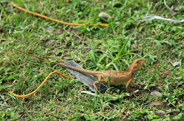 Oriental garden lizard, Pokhara, Nepal