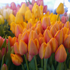 Bunches of pastel tulips in soft shades at market