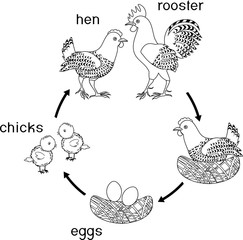 Chicken life cycle. Stages of chicken growth from egg to adult bird