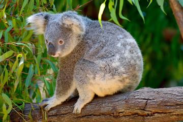 Koala on eucalyptus tree