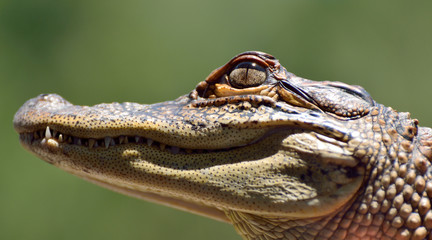 Head of freshwater crocodile (Crocodylus johnsoni).