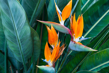 Exotic tropical flower Strelizia Reginae also named Bird of Paradise. Native to South Africa.Floral background. Wall mural