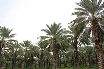 Palm forest near the border between Israel and Jordan