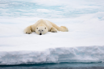 Polar bear lying on ice with snow in Arctic