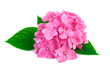 Pink hydrangea flowers with green leaves isolated on white. Blossoms of hortensia or hydrangea plant in close-up.