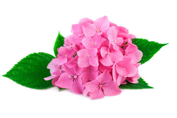 Pink hydrangea flower with green leaves and water drop isolated on white. Blossoms of hydrangea flowers in close-up.