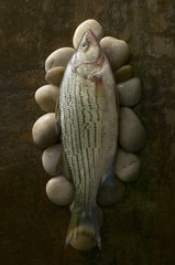 Close-up of striped bass on pebbles on rusty background