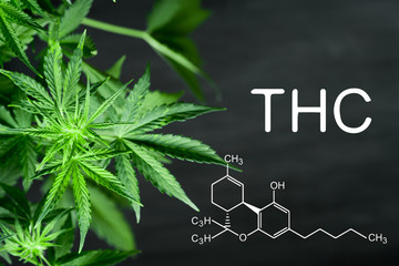 THC chemical formula Beautiful background of green cannabis flowers A place for copy space