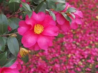 Red camellia(camellia japonica) flower blooming in the garden