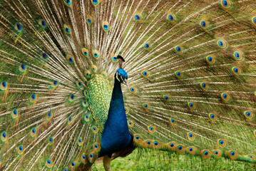 Male peacock with tail open in mating ritual