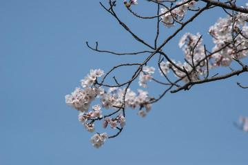 "japanese cherry ""sakura"" blossom"