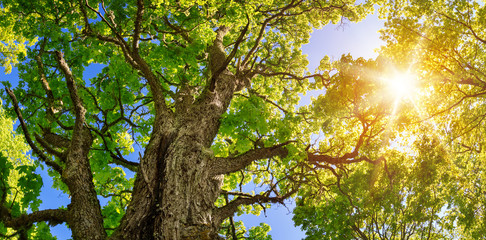 old linden tree foliage in morning light with sunlight