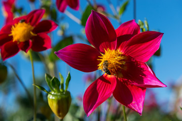 A bee collects nectar on a red dahlia flower