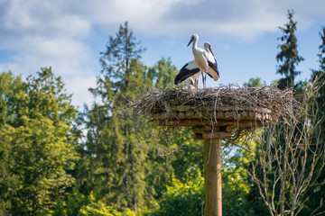 A pair of storks sitting in the nest placed in the park in summer, with blue cloudy sky in the background.