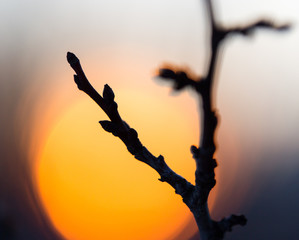 Tree branch with buds on sunset background