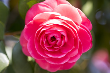 Beautiful Camellia in spring time