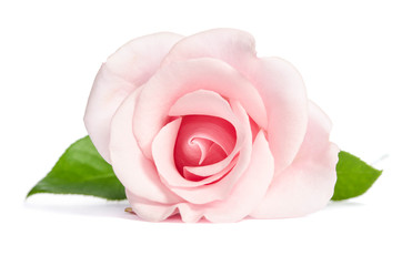 Beauty single pink rose lies isolated on white background