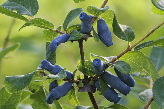 Blue honeysuckle (Lonicera caerulea var. edulis). Known also as Honeyberry, Blue-berry honeysuckle, Sweetberry honeysuckle and Haskap berry. Another scientific name is Lonicera edulis.