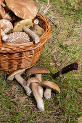 Several Porcini mushrooms (Boletus edulis, cep, penny bun, porcino or king bolete) with knife and wicker basket on natural background..