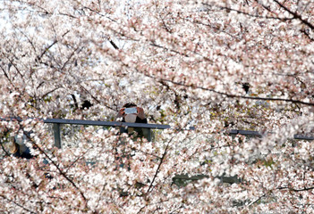 A woman takes a picture of cherry blossoms in full bloom in Tokyo