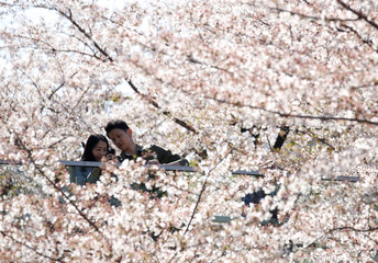 People take a picture of cherry blossoms in full bloom in Tokyo