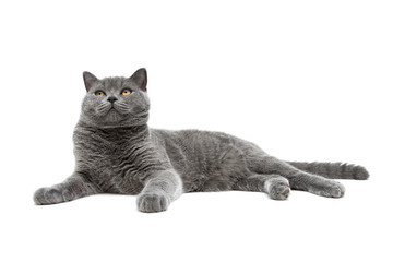 gray cat breed scottish-straight isolated on white background
