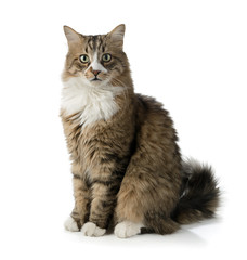 Norwegian forest cat isolated on white background.