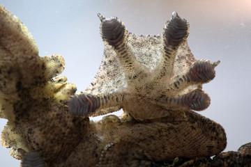 Ptychozoon kuhli Kuhl's flying gecko