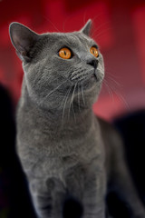 Gray cat looking away