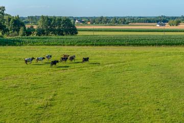 Stado krów biegnących po łące